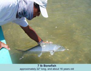 Big Bonefish on a fly
