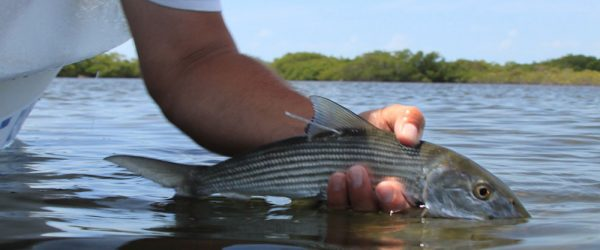 Releasing a tagged Bonefish