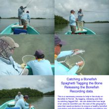 This is a necessary process to help in the study on bonefish and permit. By tagging, releasing and then re-catching tagged fish, we can determine how large of an area do bonefish use; the size of the geographic area that needs protection to ensure a healthy bonefish population and what extent do different populations mix.